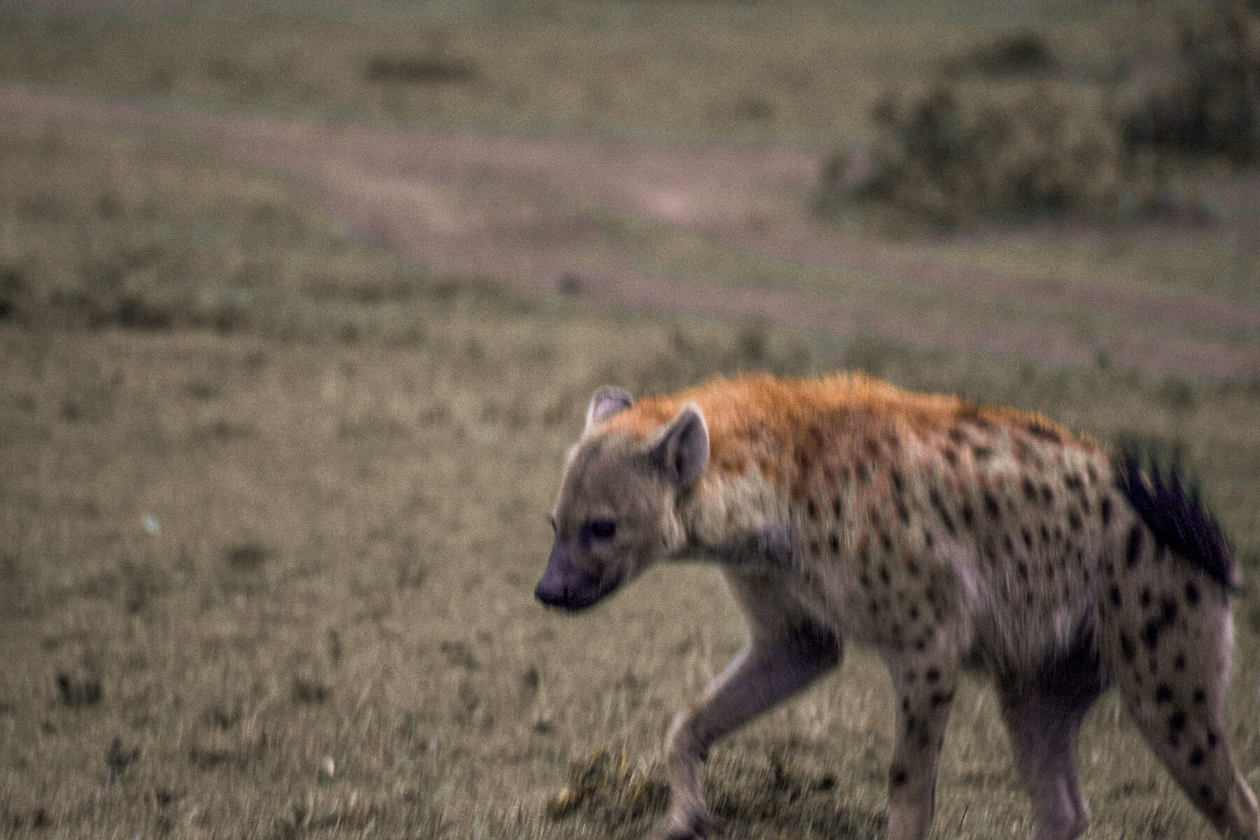 A blurry spotted hyena walking in the Mara and swishing his tail