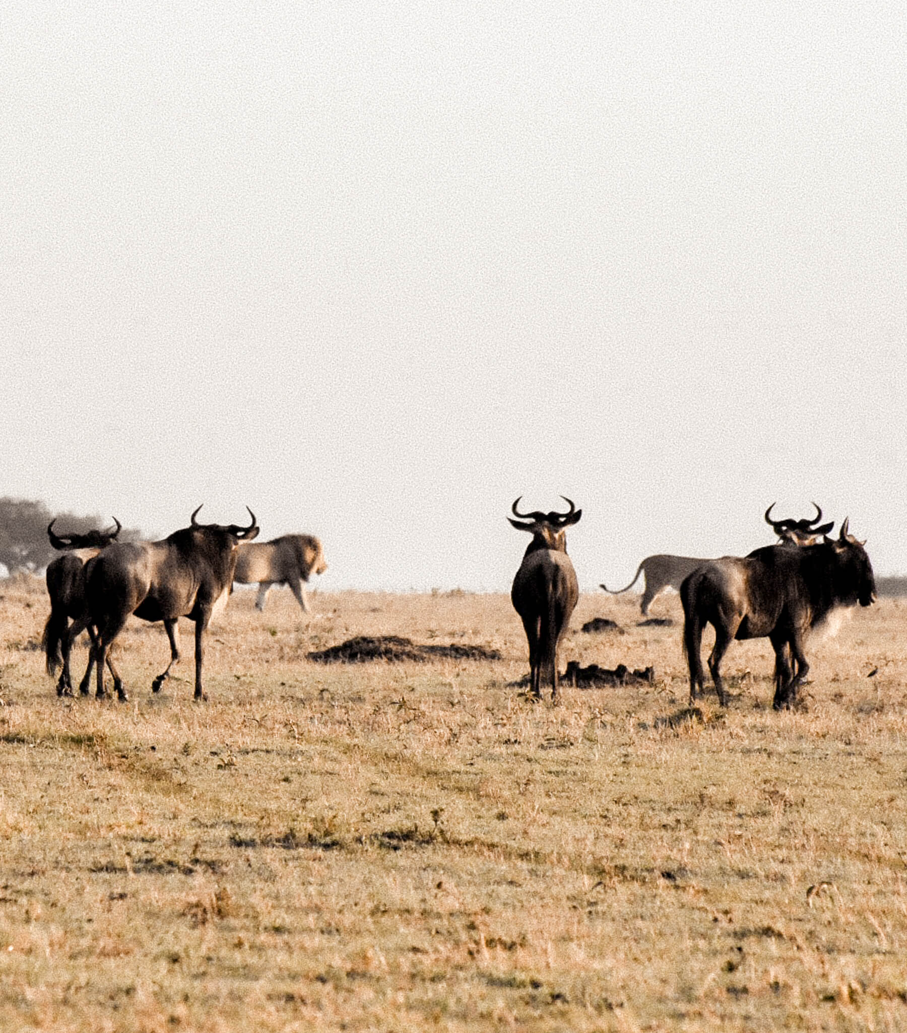 Wildebeest standing in a line looking at two lions walking in front of them