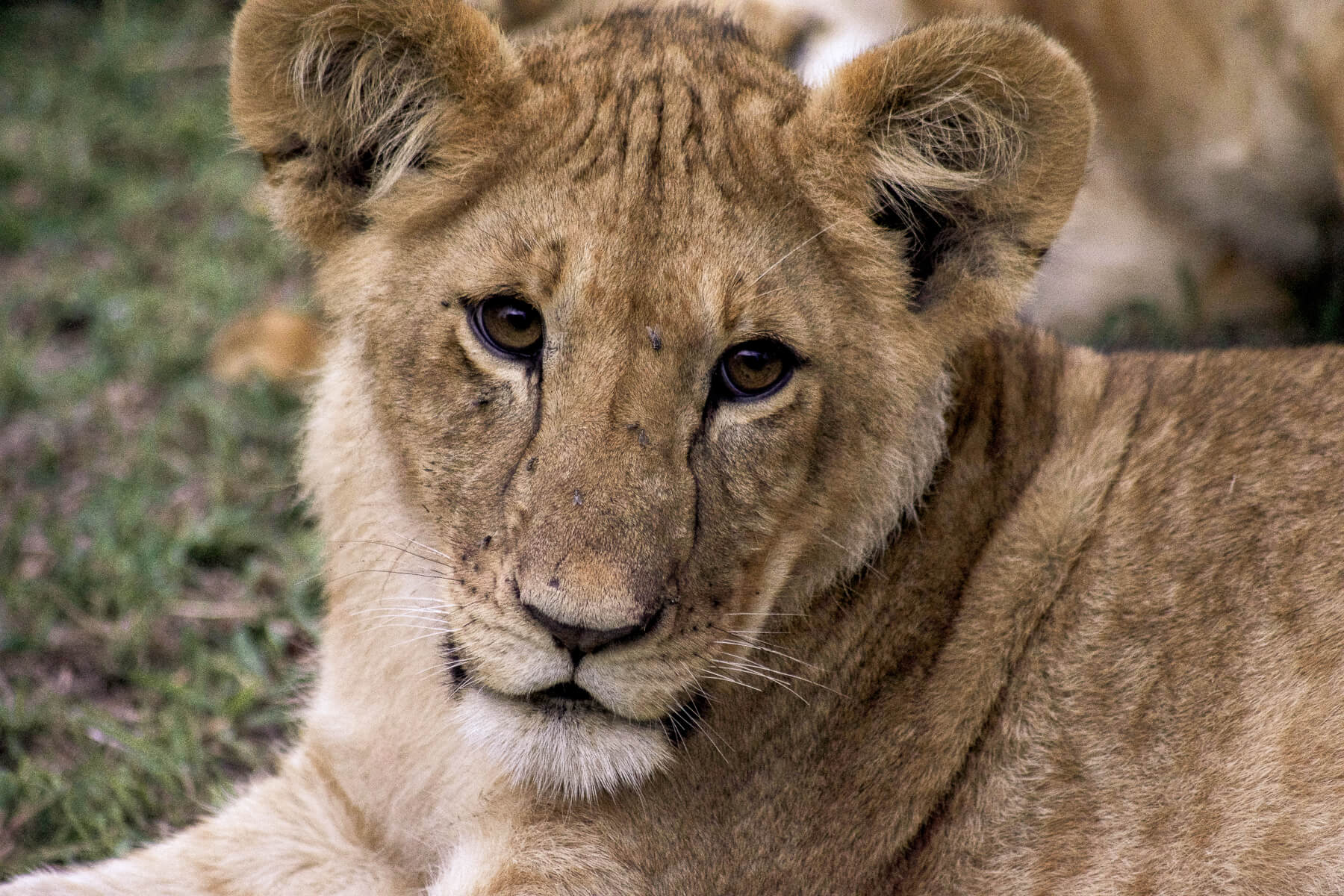 Close up of the face of a curious young lion cub - Kenya wildlife