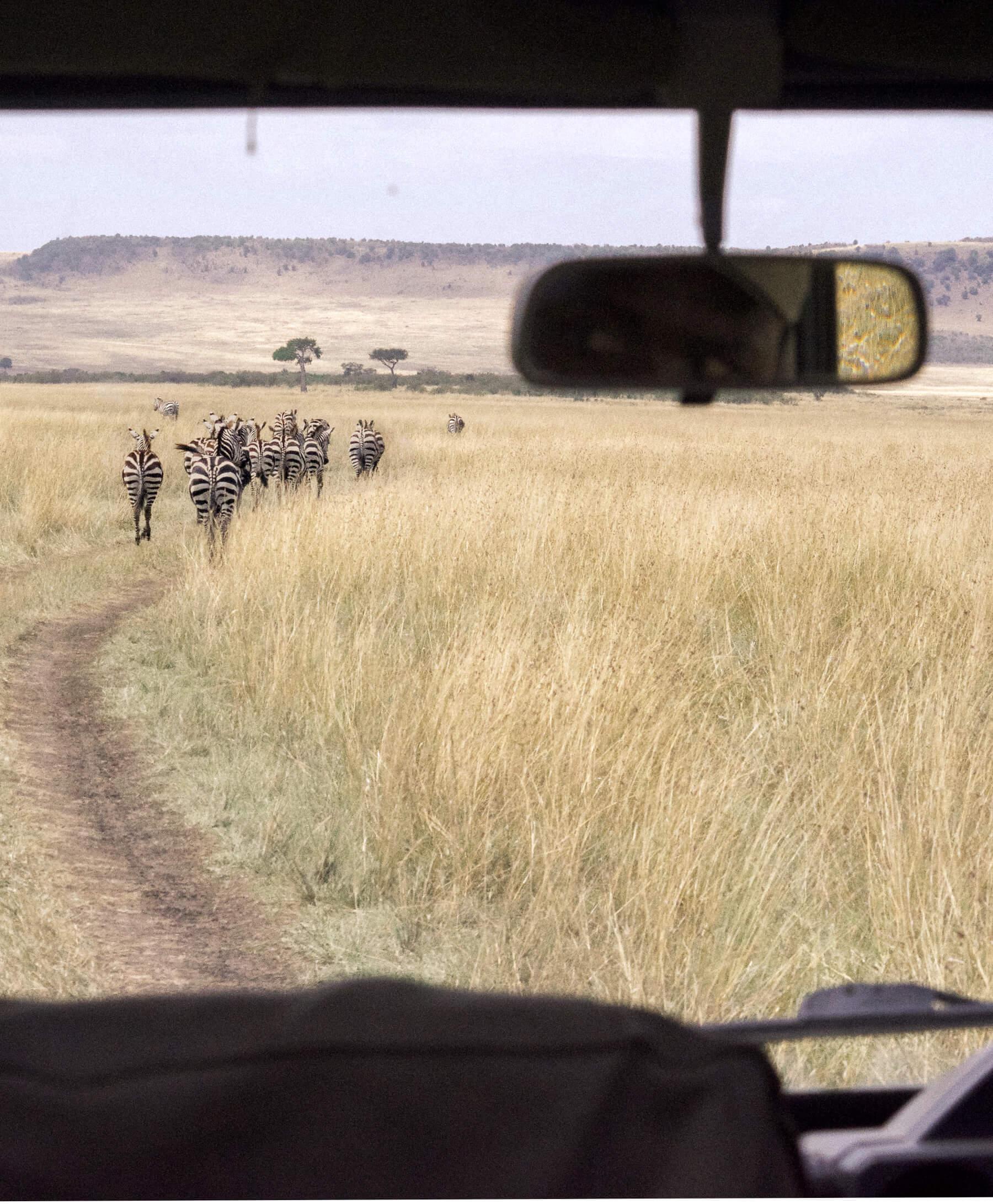Zebra running in front of Kenya Safari vehicle in the Maasai Mara