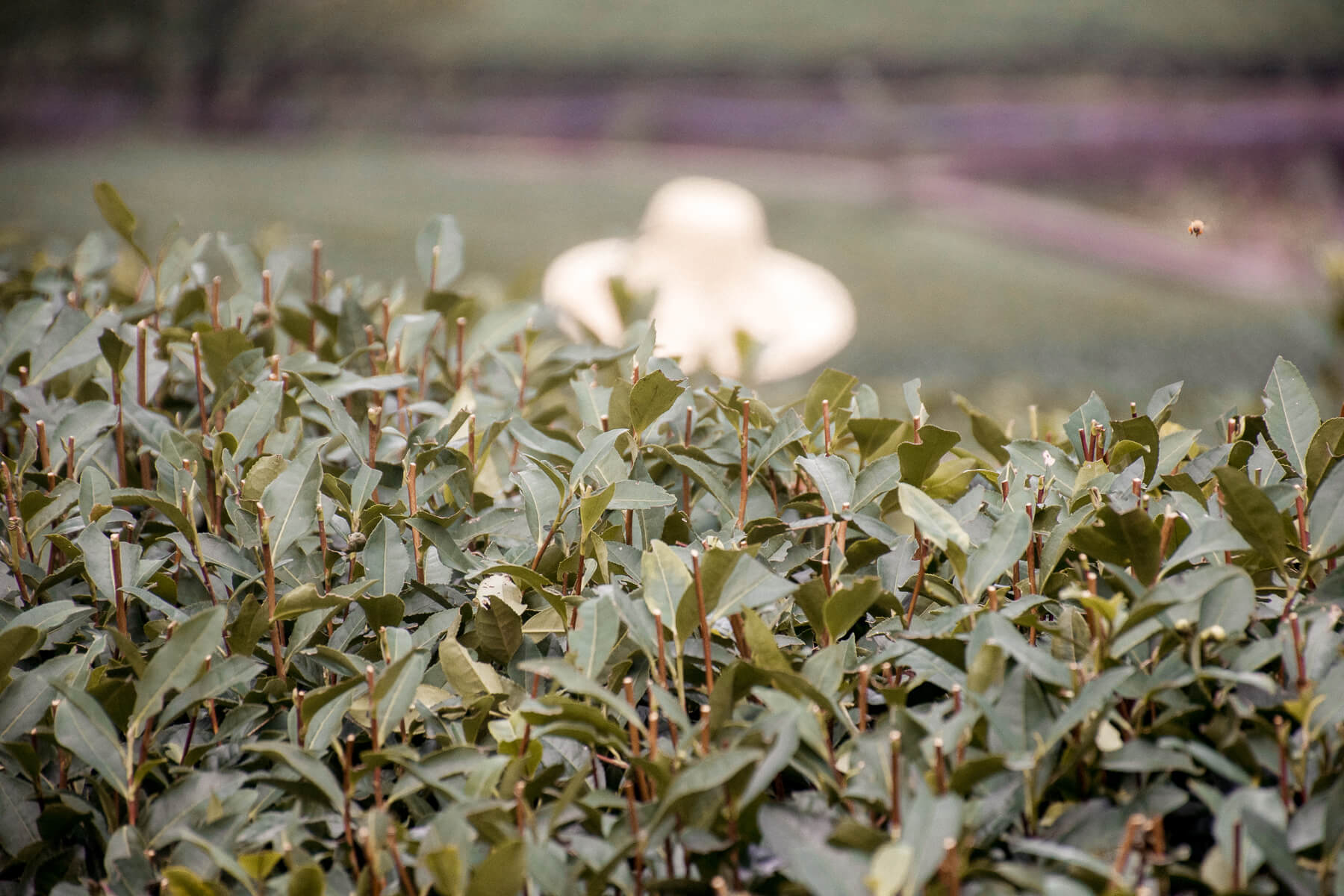 Focus on a green tea plant, with a bee flying above and an unfocused hat in the background