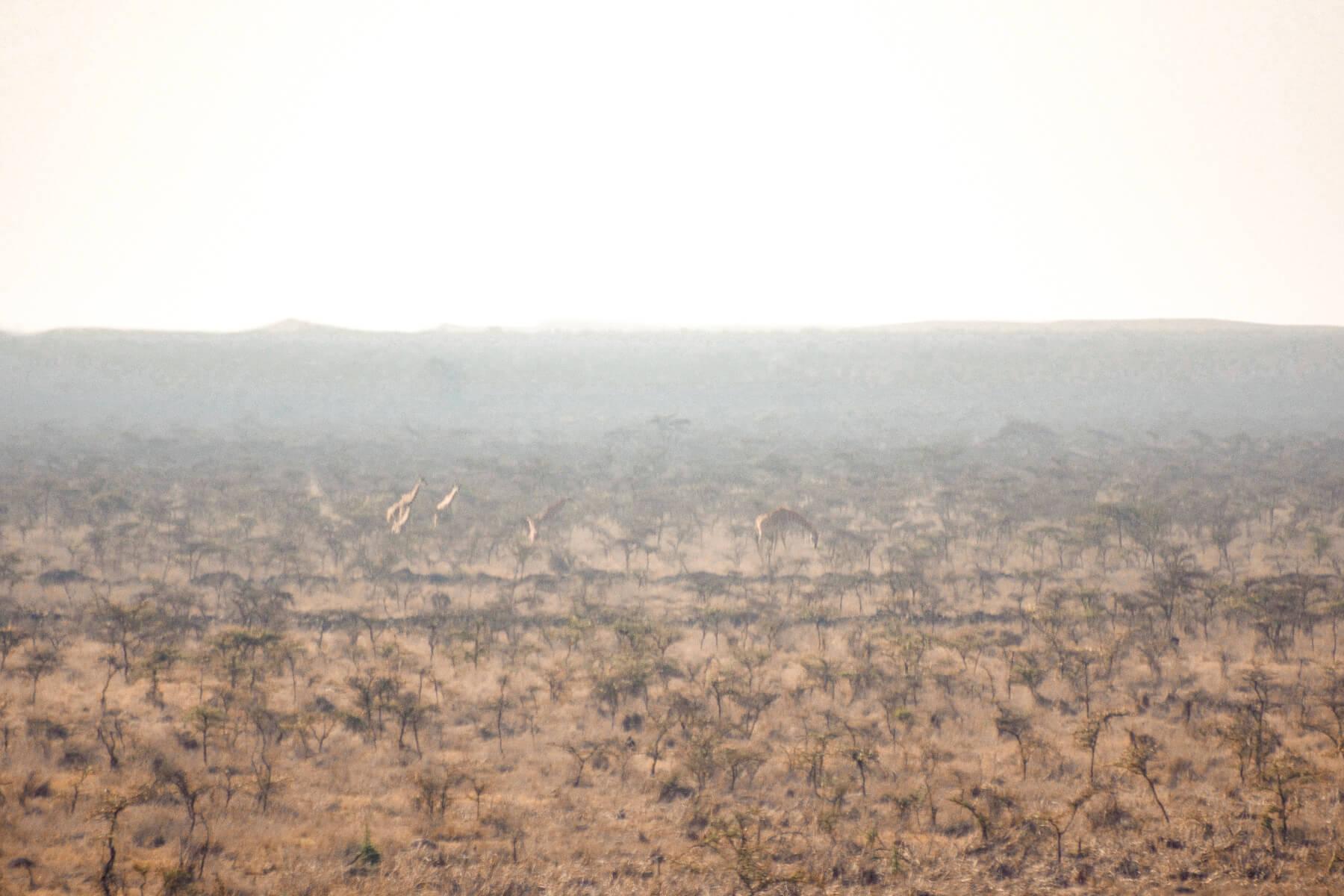 giraffe walking across the Nairobi National Park