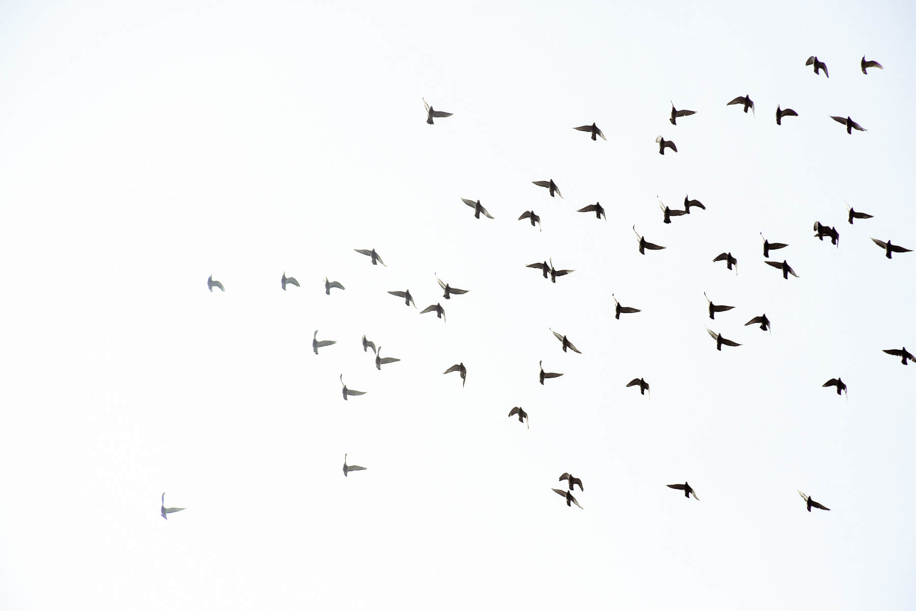 A flock of homing pigeons flying through the sky in Beijing