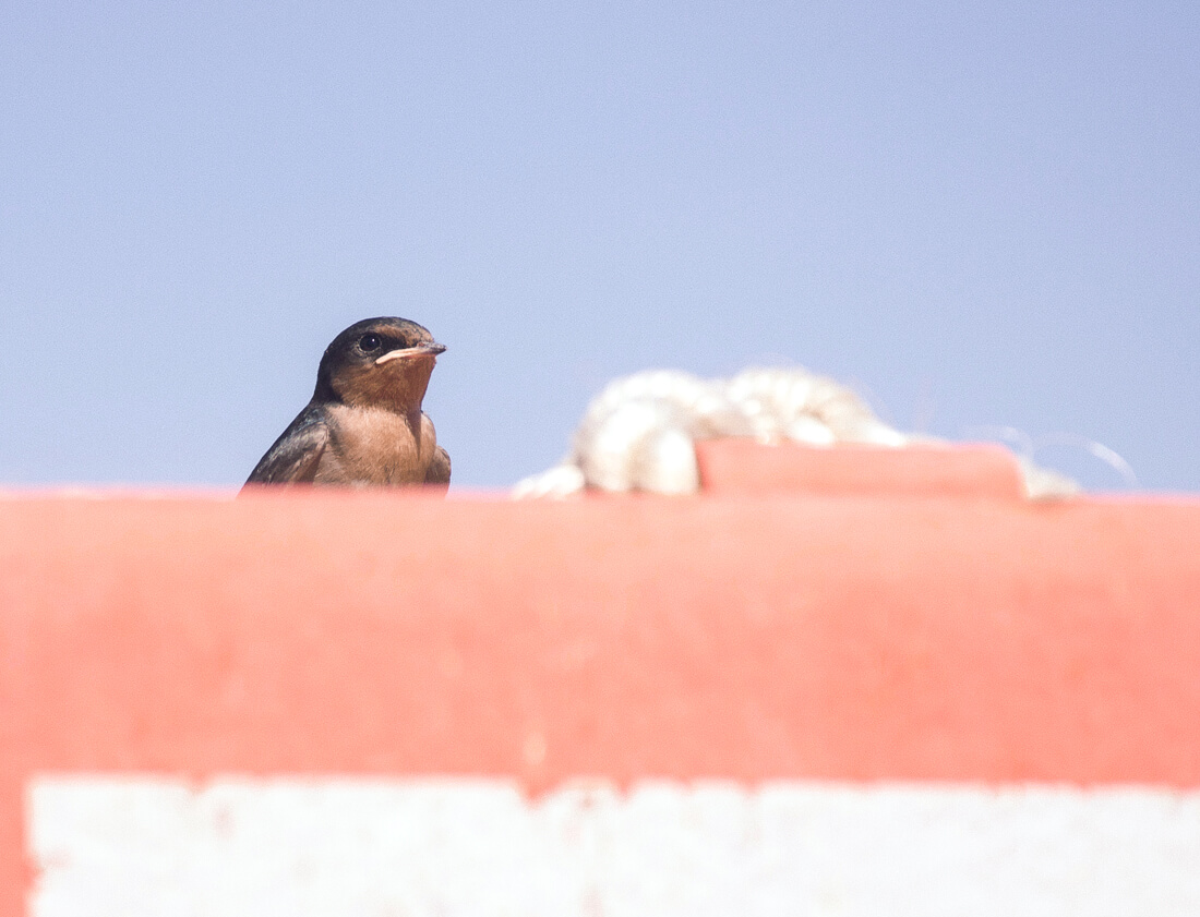 Brown sparrow sitting on the Cape Tribulation Ferry