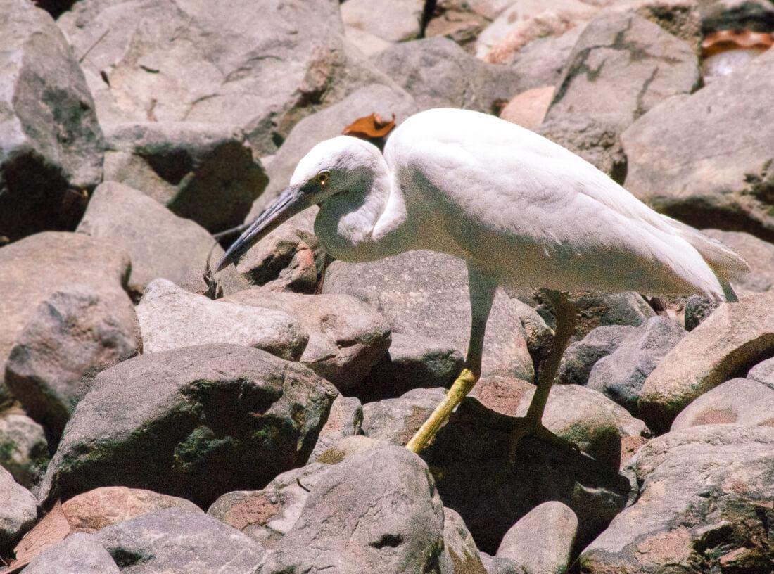 Tall white Herron amongst the rocks of Emmergen creek