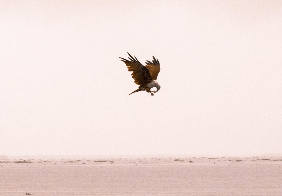 A bird flying above Punnamada Lake while eating a fish