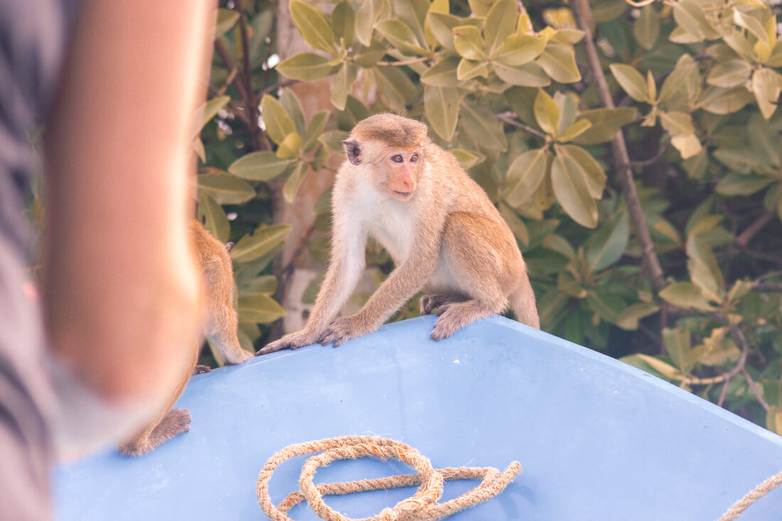 Macaque monkey sitting on the end of a blue boat