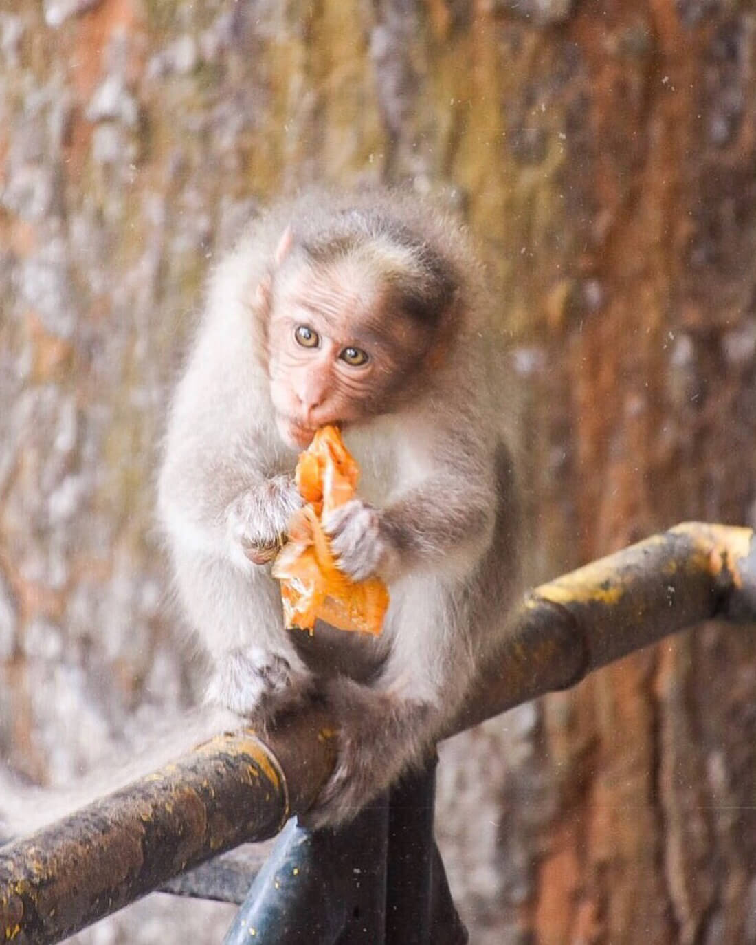 Monkey eating an orange plastic bag in India