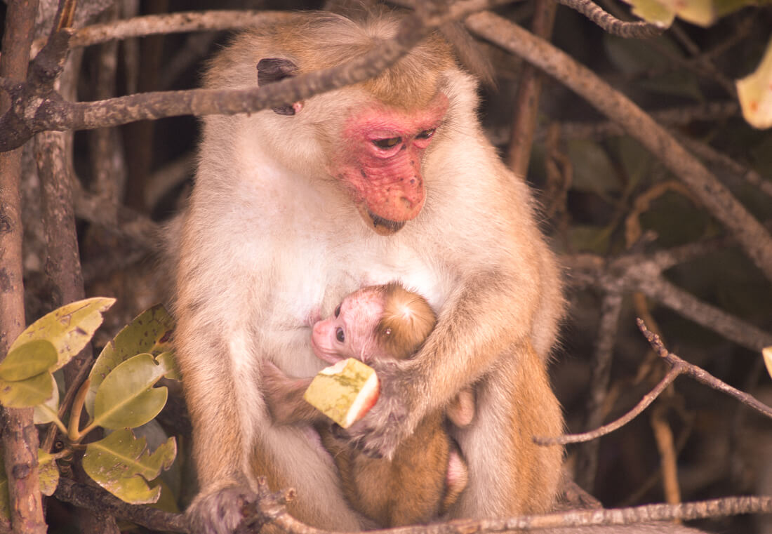 Baby Toque Macaque clinging to her mother while she eats watermelon