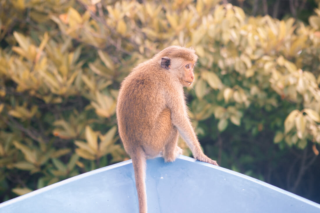 A toque macaque monkey sitting on blue boat at Monkey Island