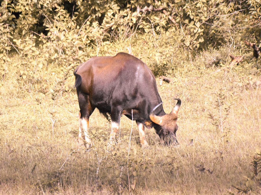 Grazing Gaur (Indian Bison) in Periyar Tiger Reserve