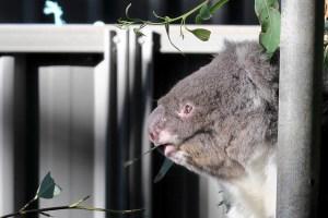 Koala East coast Australia