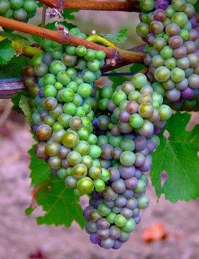oregon_grapes_R