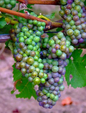 oregon_grapes_R