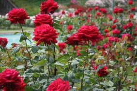 big-red-roses1
