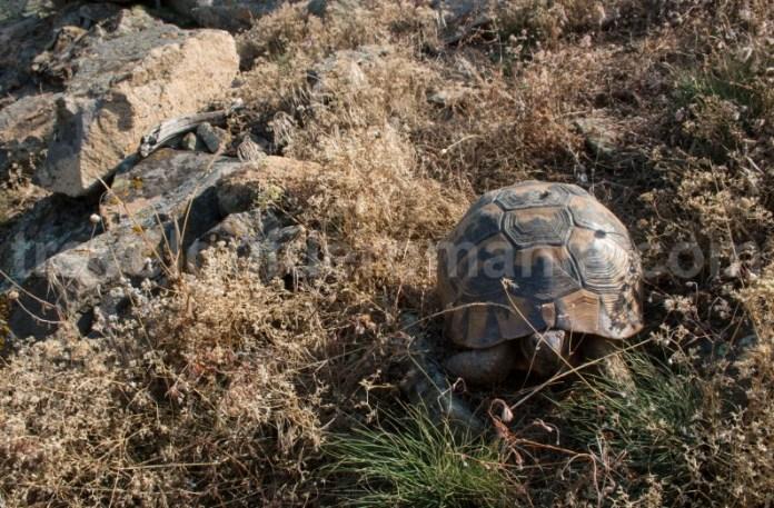 Broasca ţestoasă dobrogeană (Testudo graeca ibera) - Muntii Dobrogei