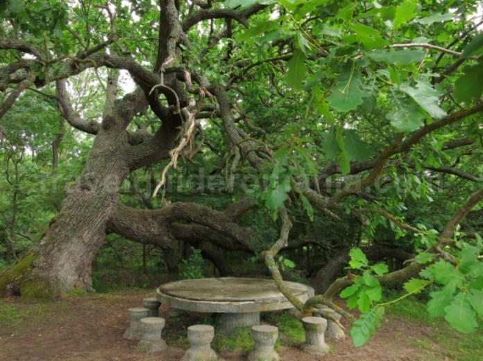rezervatia biosferei delta dunarii stejarul ingenunchiat padurea caraorman