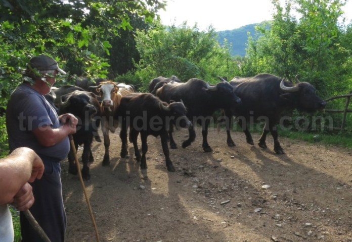 Platoul Vascau Apuseni bivoli