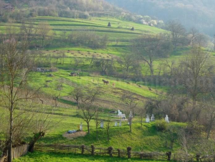 Platoul Vascau Apuseni cultivare