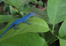 Los lagartos azules de la isla Gorgona en Guapi, Colombia 1