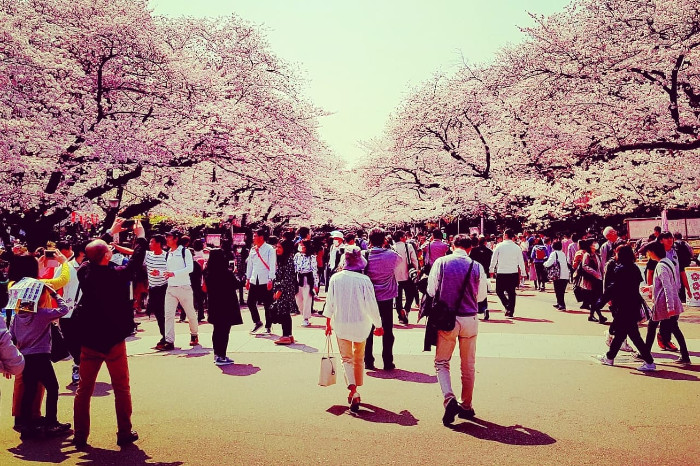Things to do in Tokyo: Cherry Blossom Canopy at Ueno Park