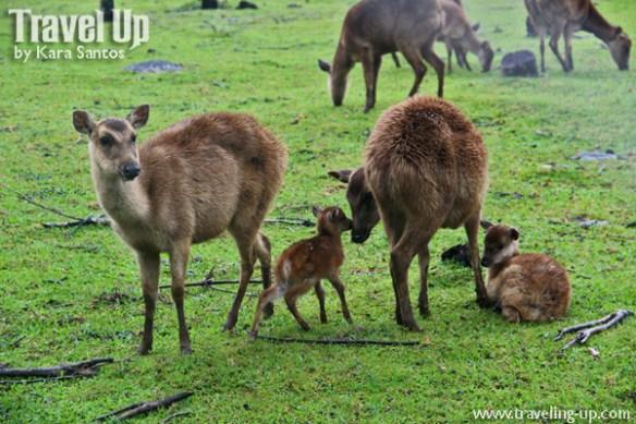 09. graceland estates & country club tayabas quezon deer farm