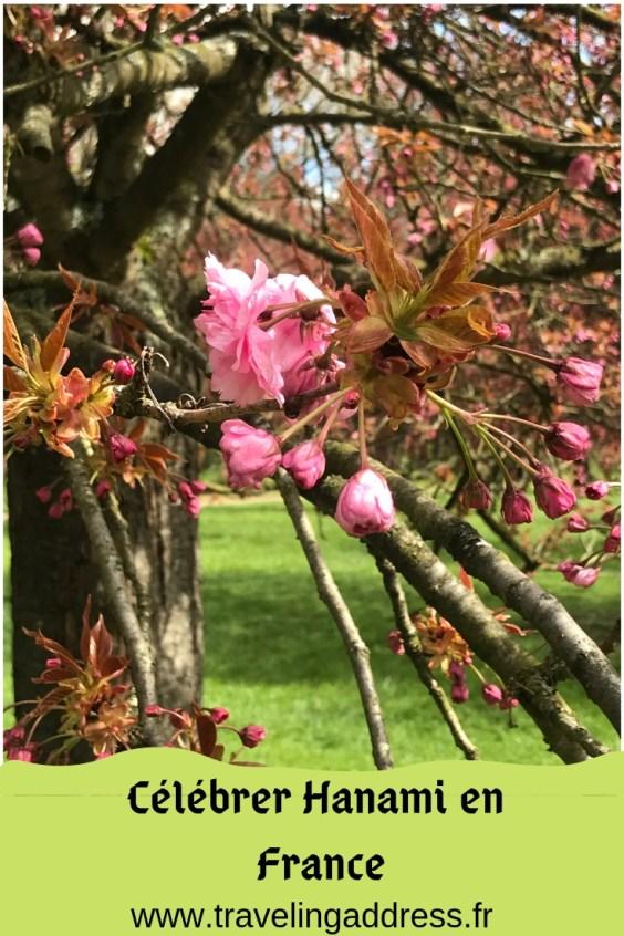 Hanami fête japonaise des cerisiers en fleurs