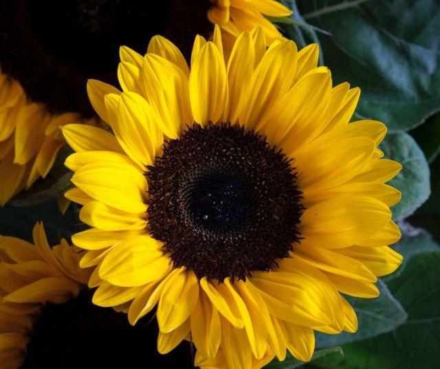 Sunflower Fields in Northern Virginia
