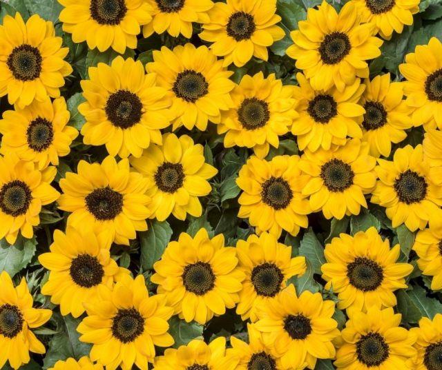 Sunflower Fields in Wisconsin Dells