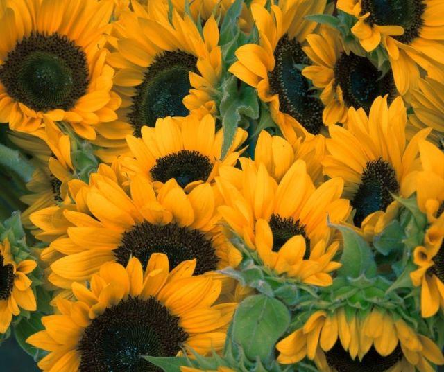 Sunflower Fields in West Virginia