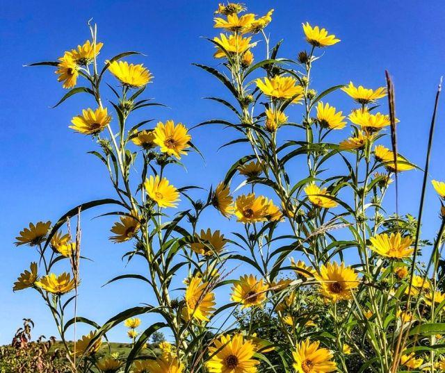 Sunflower Fields in Long Island NY
