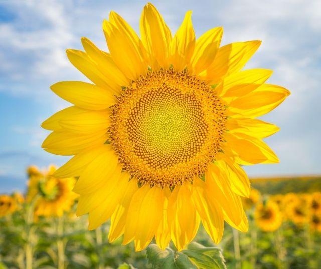 Sunflower Fields in Columbus Ohio