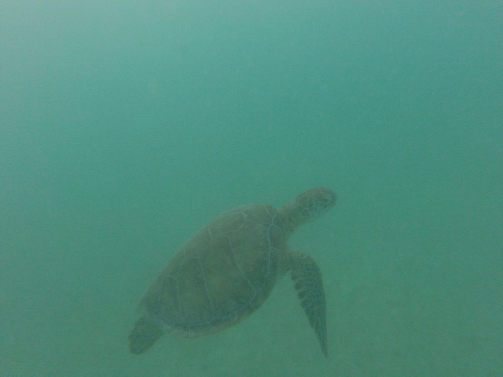 Schildkröte in Akumal
