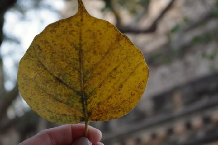 leafbodhitree