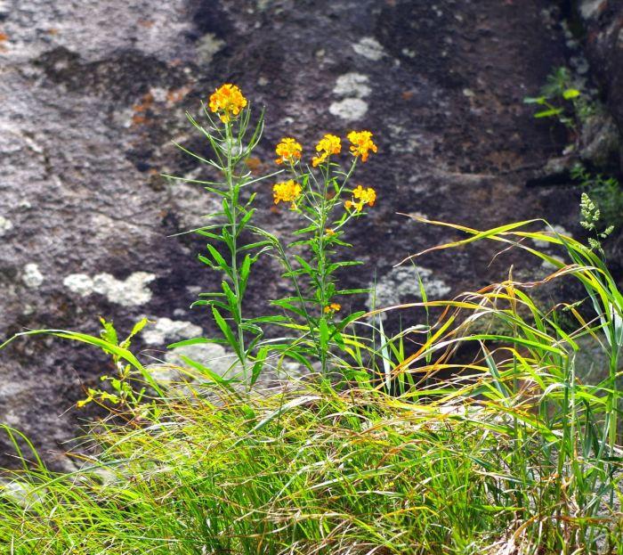 kaschmir-trekking-naranagh-blumen
