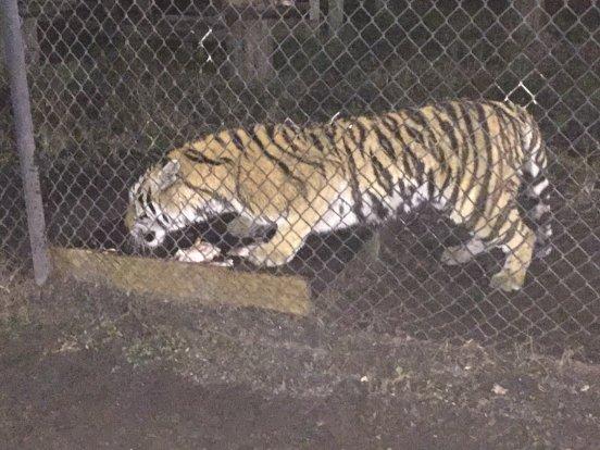 Tiger feeding at Catty Shack Ranch.