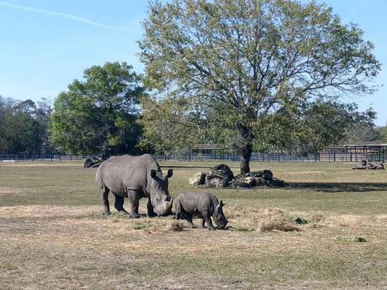 Rhino baby and mother at White Oak Conservation Center