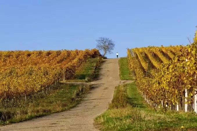 Vineyards Vines e1552132126279 - Things To Do In New South Wales, Australia
