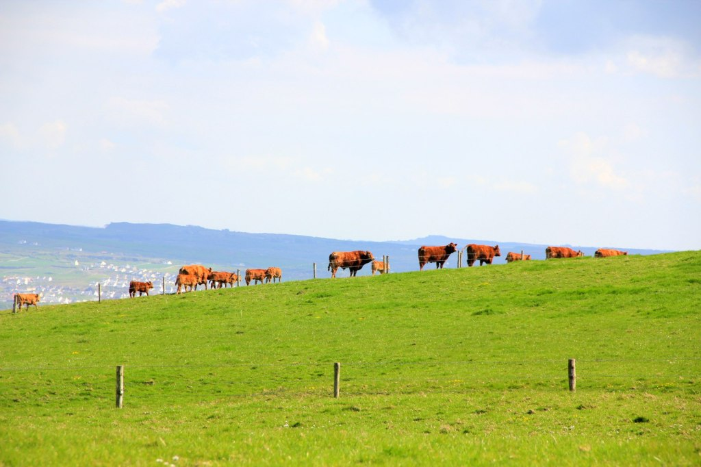 Cows at the Cliffs of Moher