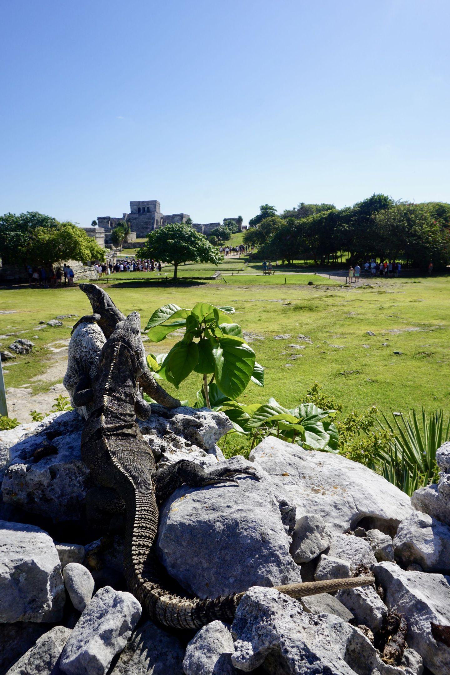 Iguanas at Tulum Ruins