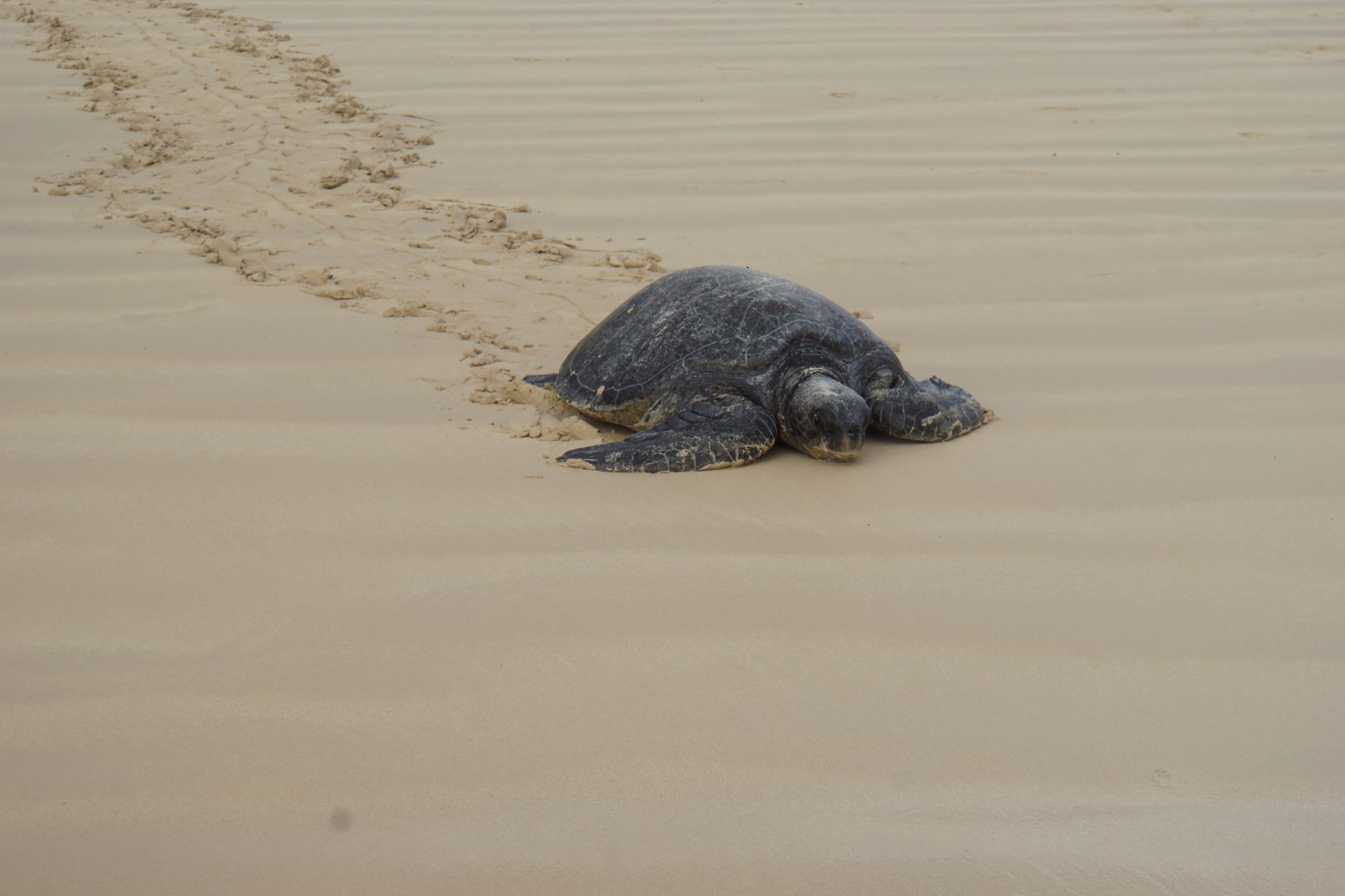 Sea turtles are a rare sight on land, this Galápagos green turtle on Isla Floreana