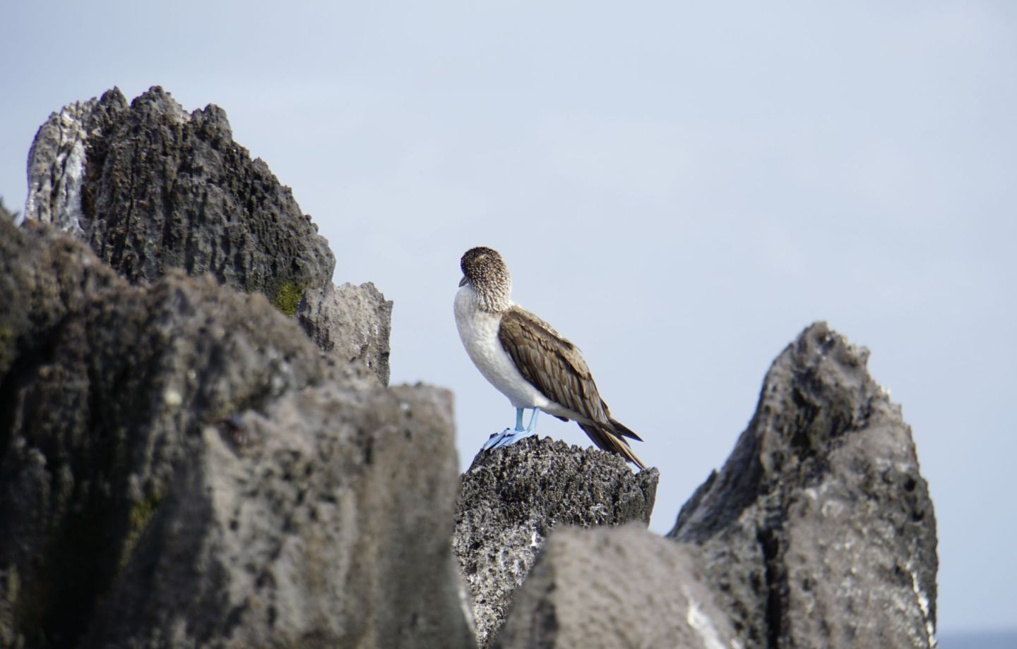 Where to see the Blue-footed booby on the Galápagos islands