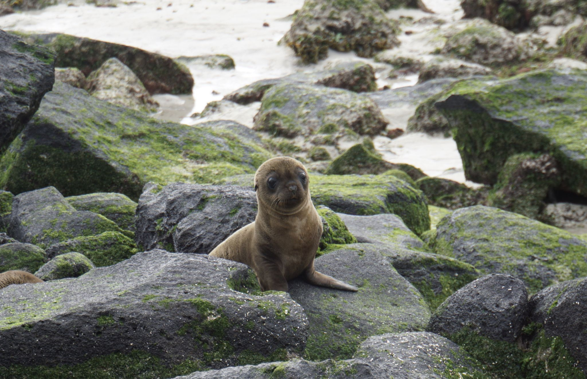 The Galápagos sea lion is one of the animals you can spot on the Galápagos islands