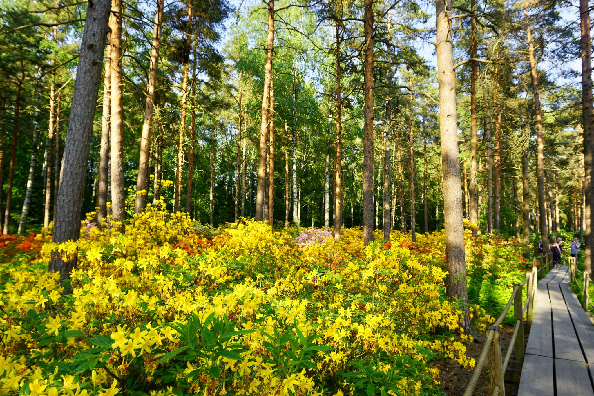 Yellow rhododendrons in Alppiruusupuisto