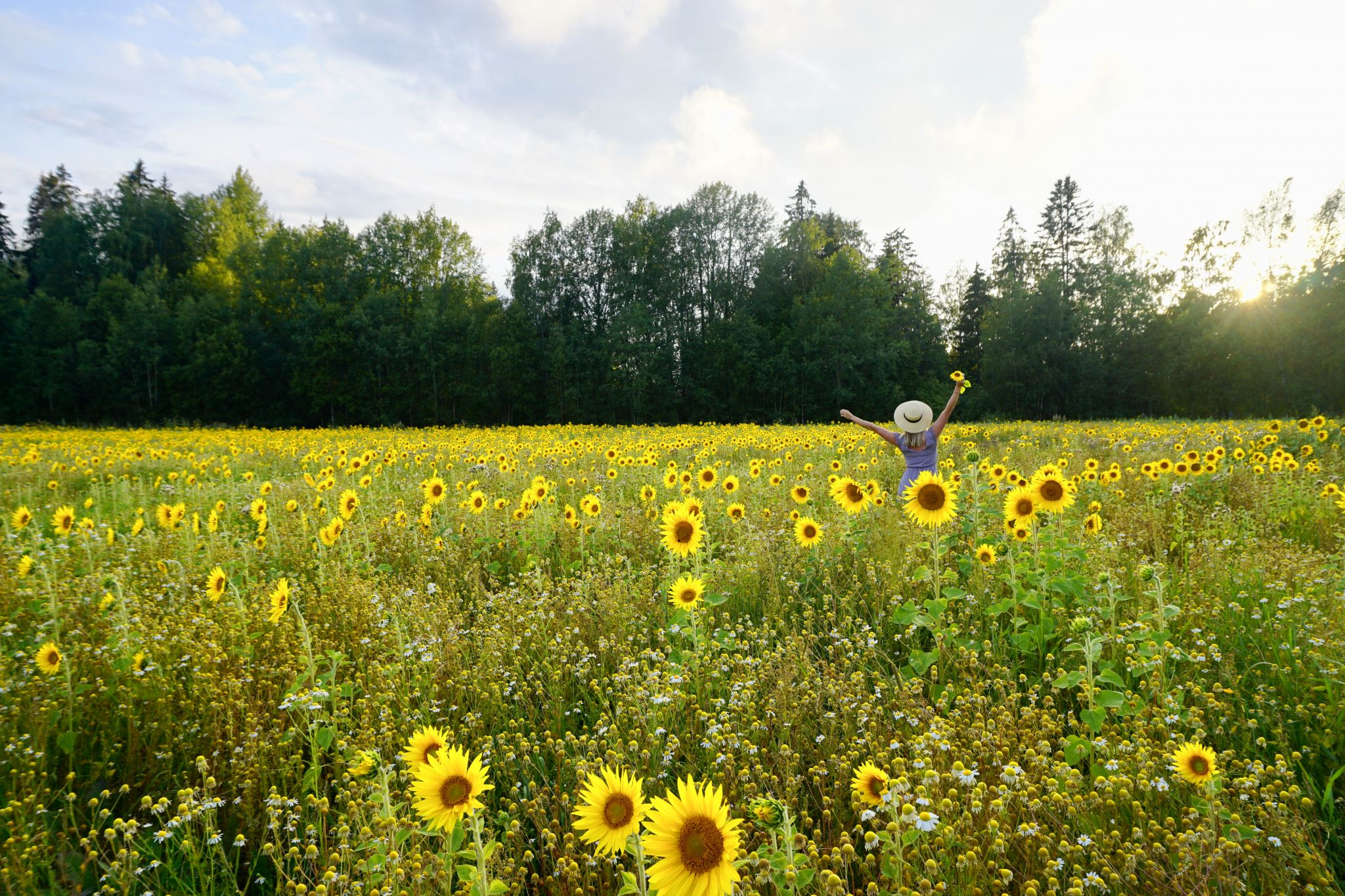 How to visit Helsinki's sunflower fields and pick flowers for free