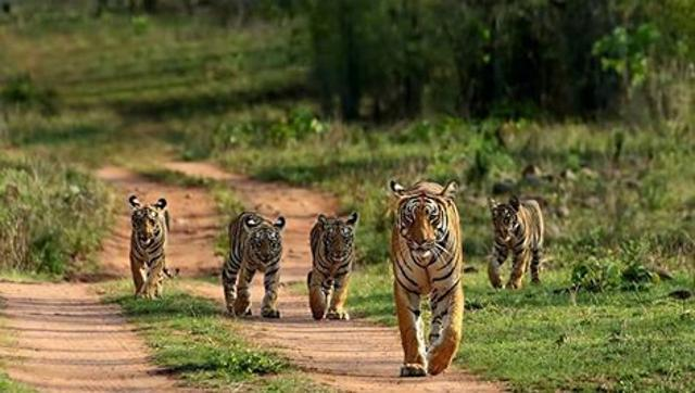 Tigers at Bhandhavgarh