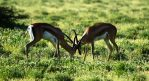 Gazelles in action in Samburu Kenya by Travel Jaunts