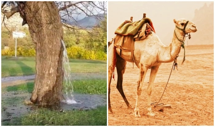 A place in India where water comes out of tree