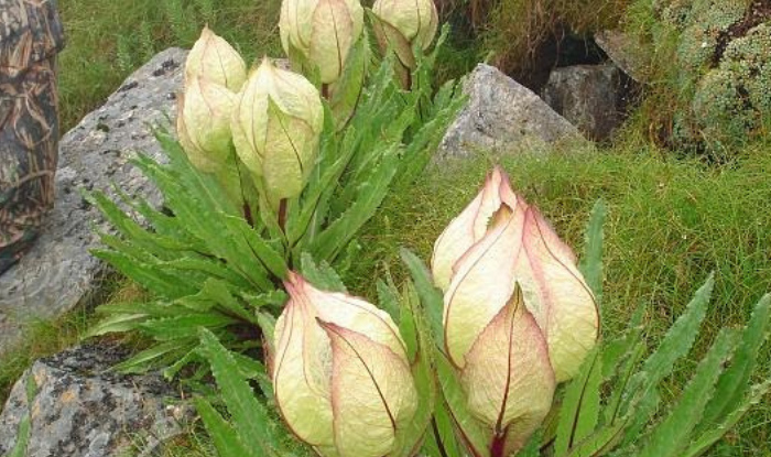 dehradun city brahmakamal still blossoms in uttarakhands high himalayas