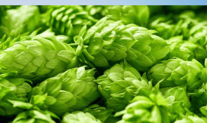 Hop shoots vegetable : Here is the world's most expensive vegetable, the price is 82 thousand rupees